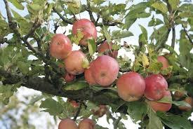 åkerö-äpple